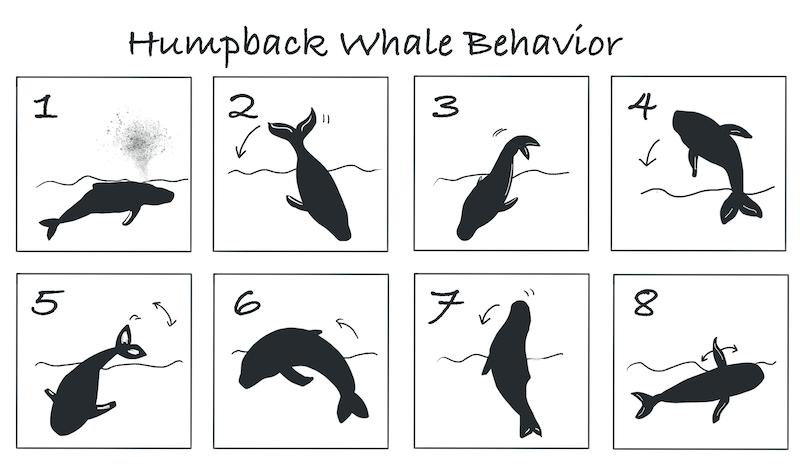 ザトウクジラの活動